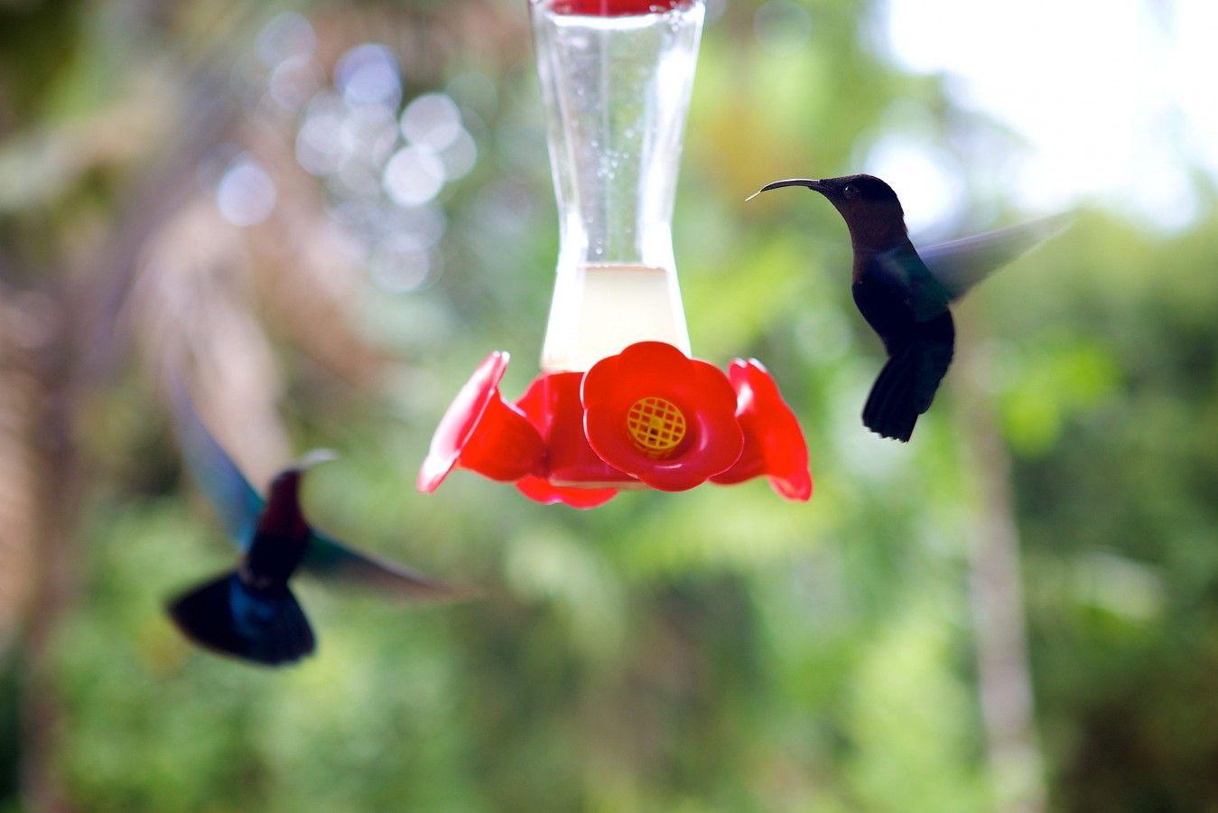 Colibris Au Jardin De Balata, Martinique Les Jolis Moments tout Au Jardin Des Colibris