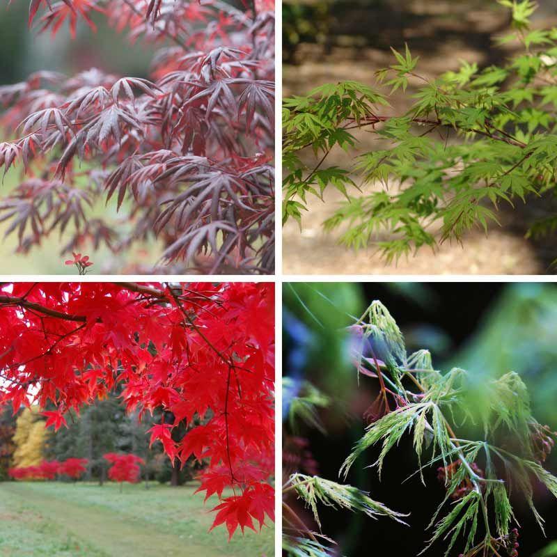 Érables Du Japon, Attention À La Verticilliose ! | Erable intérieur Vermiculite Jardin