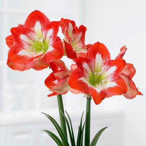 Acheter Amaryllis Minerva - Meilleur Rapport Qualité Prix concernant Jardin Pour Vous