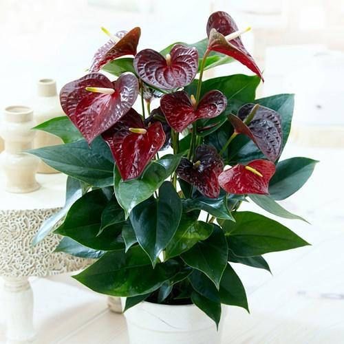 Acheter Anthurium Otazu Brun - Meilleur Rapport Qualité concernant Jardin Pour Vous