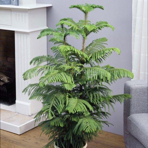 Acheter Araucaria Heterophylla - Meilleur Rapport Qualité encequiconcerne Jardin Pour Vous