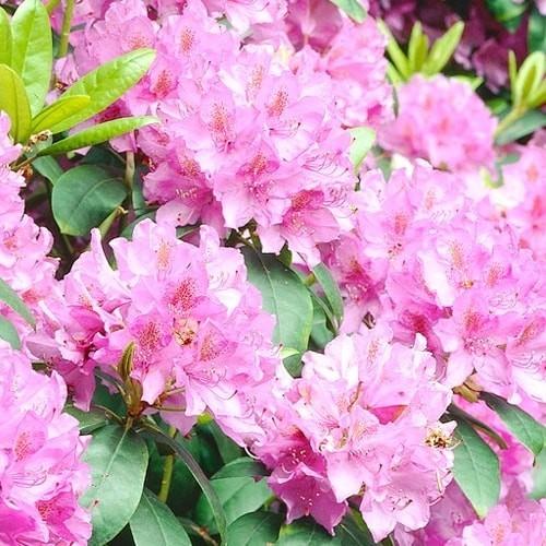 Acheter Rhododendron Alice - Meilleur Rapport Qualité Prix dedans Jardin Pour Vous