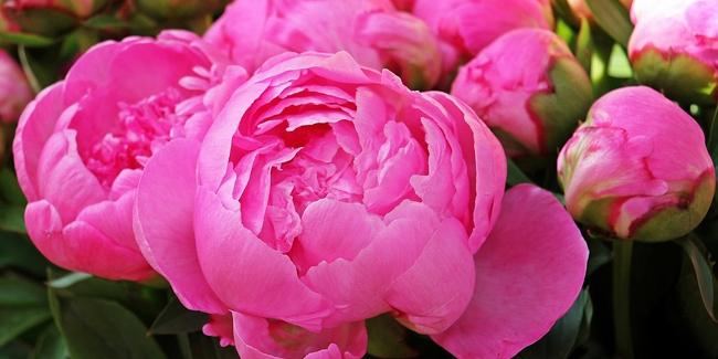 Les 10 Plus Belles Fleurs Roses Du Jardin tout Le Jardin Des Fleurs